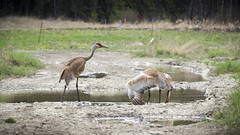 Sandhill Mates (DustinGinetz.Photography) Tags: sandhill cranes bird migratory mating nesting pair large