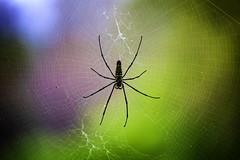 A Spider In Luang Prabang, Laos (El-Branden Brazil) Tags: laos laotian luangprabang asia asian mekong southeastasia spider arachnid cobweb