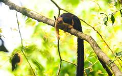 Malabar Giant Squirrel (theviewfinder) Tags: nikon d90 midhun midhunthomas midhunjohnthomas nikon300mmf4 thatekkad