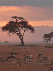 Masai Mara, Kenya, Africa (David May) Tags: africa gazelle national park game sunset big skies smell holiday continent tree silhouette moody tranquil rift valley jeep safari 4x4 wildlife