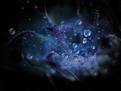 No Life without Water (ursulamller900) Tags: fourelements macro macromondays helios442 extensiontube 12mm makroring water waterdrops wassertropfen spiderweb spinnennetz sedum