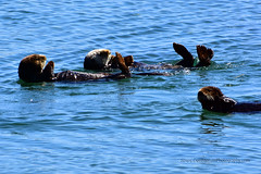 SeaOtters_01 (DonBantumPhotography.com) Tags: wildlife nature animals seaotters ocean sea water wildanimals donbantumphotographycom donbantumcom