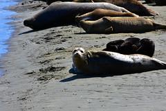 HarborSeal&Otters_01 (DonBantumPhotography.com) Tags: wildlife nature animals harborseals harborsealpups seaotters ocean sea water wildanimals donbantumphotographycom donbantumcom beach lagoon sand