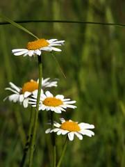 la scaletta (fotomie2009) Tags: daisy margherita spontaneous spontaneo wild wildflowers nature flora flowers fiore white 4 four quattro