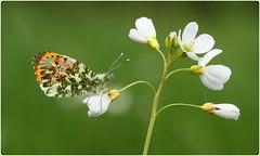 Male Orange-tip on Cuckoo Flower III (glostopcat) Tags: orangetipbutterfly butterfly insect invertebrate macro glos spring april wildflower ladyssmock cuckooflower gloucestershirewildlifetrust coombehillcanalmeadowsnaturereserve