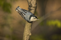 White Breasted Nuthatch.... (Kevin Povenz Thanks for all the views and comments) Tags: 2019 may kevinpovenz westmichigan michigan ottawa ottawacountyparks ottawacounty grandriverpark bird whitebreastednuthatch nature outside outdoors canon7dmarkii sigma150600 wildlife