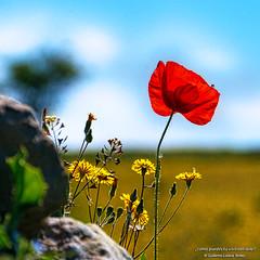 ¿cómo puedes tú vivir tan sola? (wuploteg1) Tags: amapola ababol poppy arcusa ainsa l'ainsa biello sobrarbe pirineos pirineo pyrenees huesca altoaragón altoaragon aragón aragon spain spagne ngc