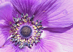 Anemone (hennessy.barb) Tags: anemone flower blossom macro nature purple amazing barbhennessy