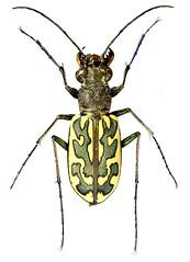 Cicindelinae sp. (dries.marais) Tags: coleoptera carabidae cicindelinae