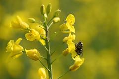 Le taon et le colza (Croc'odile67) Tags: nikon d3300 sigma contemporary 18200dcoshsmc nature insecte mouche fleurs flowers colza