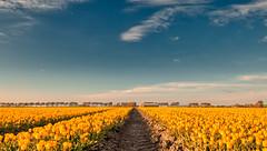Holland. (Alex-de-Haas) Tags: 1635mm d500 dutch europa europe holland nederland nederlands netherlands nikkor nikkor1635mm nikon nikond500 noordholland agriculture akkerbouw beautiful beauty bloemen bloemenvelden boerenland bollenvelden bulbfields farmland farming flowerfields flowers landbouw landscape landscapephotography landschaft landschap landschapsfotografie lente lucht mooi polder pracht schoonheid skies sky spring sundown sunset tulip tulips tulp tulpen zonsondergang warmenhuizen northholland