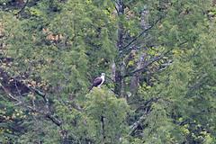 mttom2019-188 (gtxjimmy) Tags: nikond7500 nikon d7500 tamron 150600mm holyoke massachusetts newengland spring bird mttom osprey hawk fishhawk raptor birdofprey