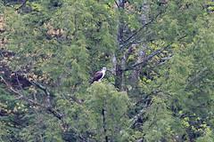 mttom2019-186 (gtxjimmy) Tags: nikond7500 nikon d7500 tamron 150600mm holyoke massachusetts newengland spring bird mttom osprey hawk fishhawk raptor birdofprey