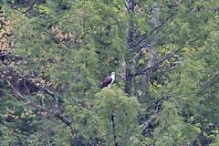 mttom2019-180 (gtxjimmy) Tags: nikond7500 nikon d7500 tamron 150600mm holyoke massachusetts newengland spring bird mttom osprey hawk fishhawk raptor birdofprey