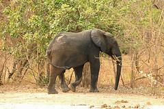 Savanna elephant, Mole National Park, Ghana (inyathi) Tags: africa westafrica ghana africananimals africanwildlife africanelephants savannaelephants loxodontaafricana elephants molenationalpark safari