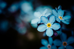Don't forget me.. (Emma Yeardley) Tags: forgetmenot floral flora flowers blue pretty macro closeup nikon40mm nikon d7500 bokeh