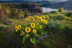 Rowena Sunrise (Jeff A. Duncan) Tags: oregon rowena crest sunrise flowers balsam root columbia river gorge