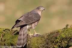 Sparrowhawk (stanley.ashbourne) Tags: bird sparrowhawk birdofprey nature wildlife stanashbourne birdphotography