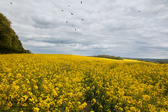 WHEN CROWS ATTACK! (mark_rutley) Tags: clouds field hampshire lonetree lonelytree meonvalley nature rapeseed singletree spring tree warnford crows birds