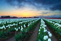 Dawns Early Light (Beve Brown-Clark) Tags: skagitvalley spring springtime sunrise skagit tulip tulipfields tulips bevebrownclark nature landscape washington