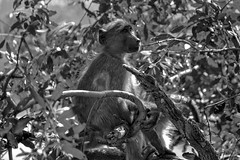 Baboon B/W (wardkeijzer_107) Tags: baboon primates monkey southafrica blackwhite tree light composition nature wildlife africa ranger safari kruger park