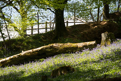 Backlighting.. (northdevonfocus) Tags: bluebellwoods bluebells ancientwoodland woodland spring green trees nature logs fallentrees landscape landscapephotography wildflower naturephotography