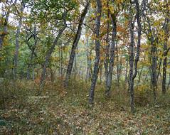 Autunm quivering (I) (Modesto Vega) Tags: nikon nikond600 d600 fullframe autumn tree bendedtree leaves leaffall lagranjadesanildefonso nature landscape forest
