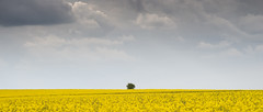 Yellow and Grey, and a Shrub (stevedewey2000) Tags: salisburyplain wiltshire spta sptacentre landscape sonya99 2351 widescreen oilseedrape canola yellow cloudscape clouds m42 manualfocus carlzeissjena 50mmf28 tessar