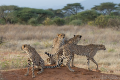 Cheetah mum and cubs - Acinonyx jubatus (rosebudl1959) Tags: 2019 kenya elephantbedroomcamp cheetahs samburu
