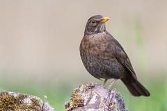 Merle noir (femelle) (sfrancois73) Tags: oiseau jardin affût merlenoir drinkstation