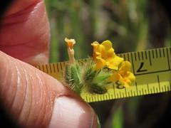 Rancher's Fiddleneck (Boraginaceae, Amsinckia intermedia) (aking1) Tags: amsinckiaintermedia boraginaceae ranchersfiddleneck julian california unitedstatesofamerica