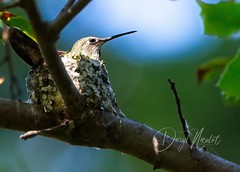 on nest (daryl nicolet) Tags: hummingbirds bird blue green nest daryl nicolet dnicpix canon sigma 600mm nature outside