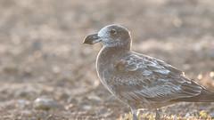Pacific Gull (Larus pacificus (georgii)), immature (sam_hierofalco) Tags: aves laridae larus pacificus