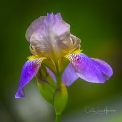 Iris outside the door (crziebird) Tags: flower flowers iris irises z7