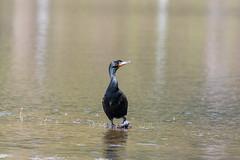ashleyreservoir2019-46 (gtxjimmy) Tags: nikond7500 nikon d7500 tamron 150600mm ashleyreservoir holyoke massachusetts spring newengland bird cormorant doublecrestedcormorant