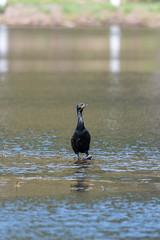 ashleyreservoir2019-41 (gtxjimmy) Tags: nikond7500 nikon d7500 tamron 150600mm ashleyreservoir holyoke massachusetts spring newengland bird cormorant doublecrestedcormorant