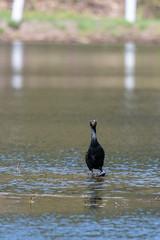 ashleyreservoir2019-40 (gtxjimmy) Tags: nikond7500 nikon d7500 tamron 150600mm ashleyreservoir holyoke massachusetts spring newengland bird cormorant doublecrestedcormorant