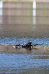 ashleyreservoir2019-39 (gtxjimmy) Tags: nikond7500 nikon d7500 tamron 150600mm ashleyreservoir holyoke massachusetts spring newengland bird cormorant doublecrestedcormorant