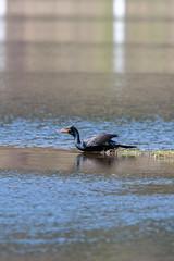ashleyreservoir2019-38 (gtxjimmy) Tags: nikond7500 nikon d7500 tamron 150600mm ashleyreservoir holyoke massachusetts spring newengland bird cormorant doublecrestedcormorant