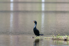 ashleyreservoir2019-35 (gtxjimmy) Tags: nikond7500 nikon d7500 tamron 150600mm ashleyreservoir holyoke massachusetts spring newengland bird cormorant doublecrestedcormorant