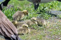 ashleyreservoir2019-33 (gtxjimmy) Tags: nikond7500 nikon d7500 tamron 150600mm ashleyreservoir holyoke massachusetts spring newengland bird goose goslings canadagoose