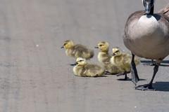 ashleyreservoir2019-32 (gtxjimmy) Tags: nikond7500 nikon d7500 tamron 150600mm ashleyreservoir holyoke massachusetts spring newengland bird goose goslings canadagoose
