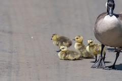 ashleyreservoir2019-31 (gtxjimmy) Tags: nikond7500 nikon d7500 tamron 150600mm ashleyreservoir holyoke massachusetts spring newengland bird goose goslings canadagoose