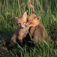 DSC_5885_cr_cr (rforgas) Tags: wildlife foxkits indiana monroe lake