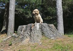 8539 (Jean Arf) Tags: dusty poodle dog miniaturepoodle spring 2019 rochester highlandpark tree stump