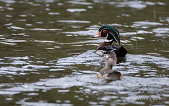 _C7A9470 (dknight429) Tags: animal wildlife avain bird duck waterfowl wood water pond dabbling