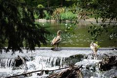 Grove Park, Carshalton (London Less Travelled) Tags: uk unitedkingdom britain england london southlondon sutton carshalton park grovepark waterfall water river wandle bird duck waterbird