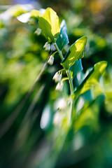 Great Dream (judy dean) Tags: judydean 2019 garden lensbaby sweet50 green flowers blur
