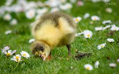🇬🇧 Cute greylag gosling in the daisies (Explored 08/05/19) #9 (vickyouten) Tags: vickyouten gosling greylaggoose wildlife britishwildlife wildlifephotography nikon nikond7200 nikonphotography nikkor55300mm warrington uk