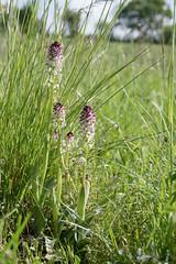 Orchis brûlé (◄Laurent Moulin photographie►) Tags: neotinea ustulata orchis brulé orchidee orchid de jardin sauvage wild colombier saugnieu etang des portions